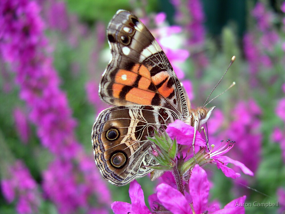American Lady Butterfly by Aaron Campbell