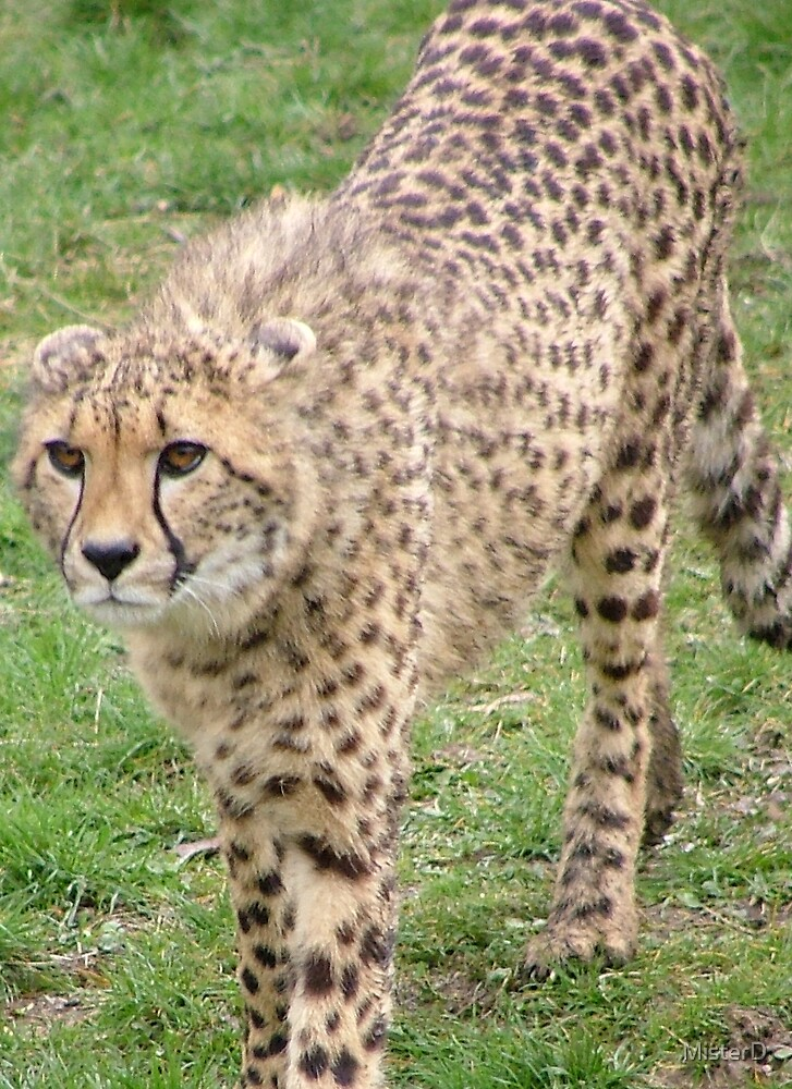Cheetah by MisterD