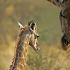 Young Giraffe by Peter Bland