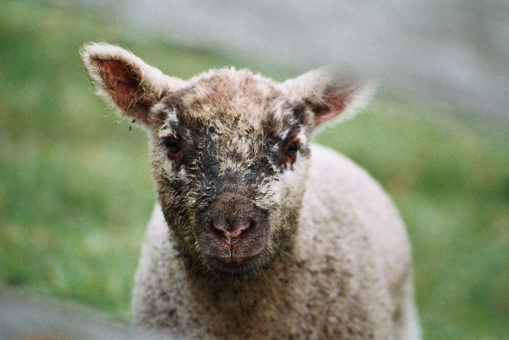 Spring Lamb by Andrew Walter