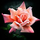 Rose #3 by Bette Devine