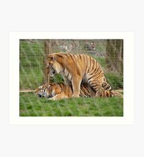 Mating Tigers Art Print