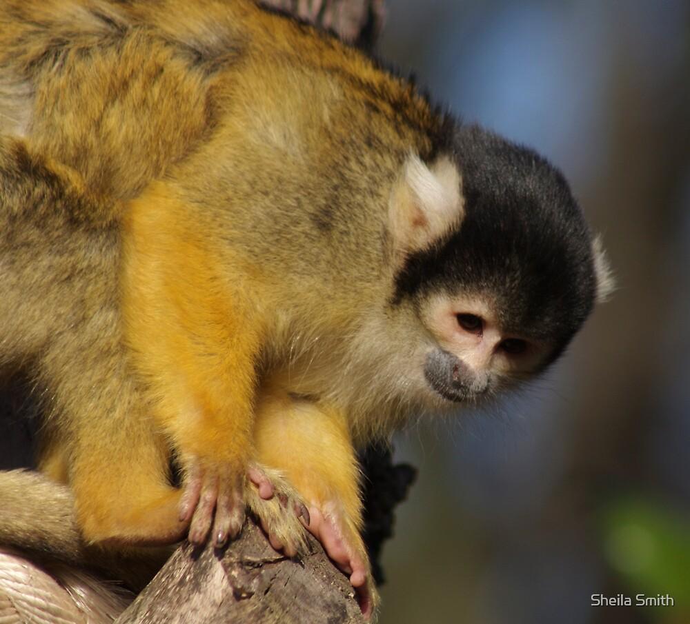 Squirrel Monkey by Sheila Smith