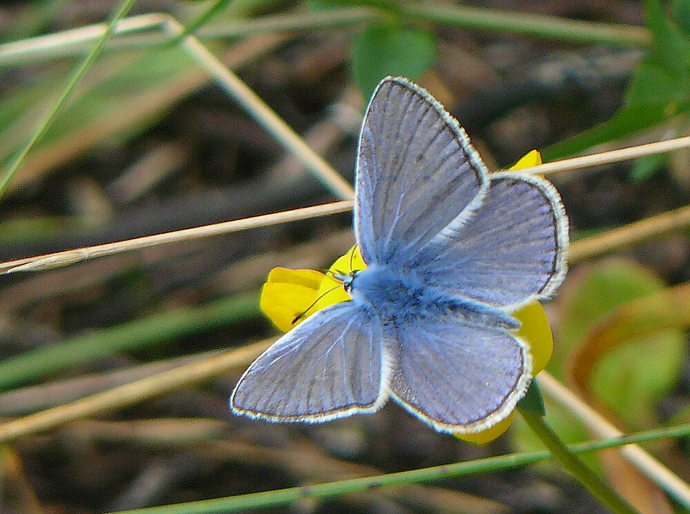 Blue Butterfly by BizziLizzy