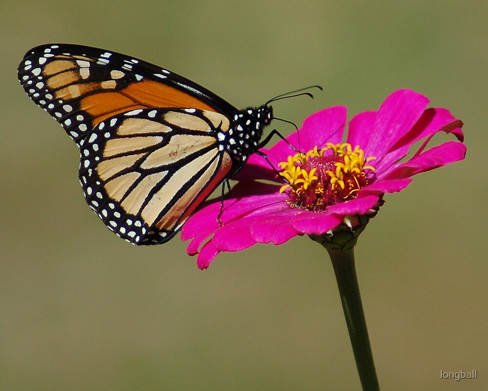 Monarch Butterfly  by longball