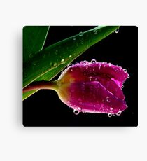 Fresh Tulips Canvas Print