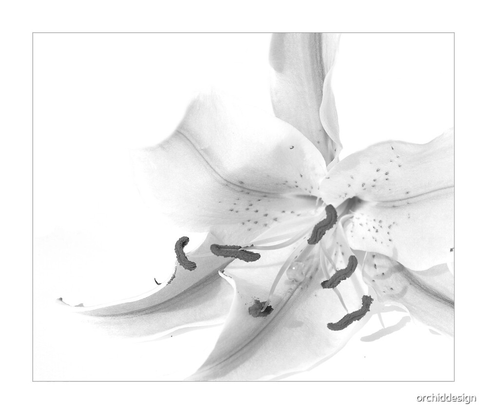 Mono Lily III by orchiddesign