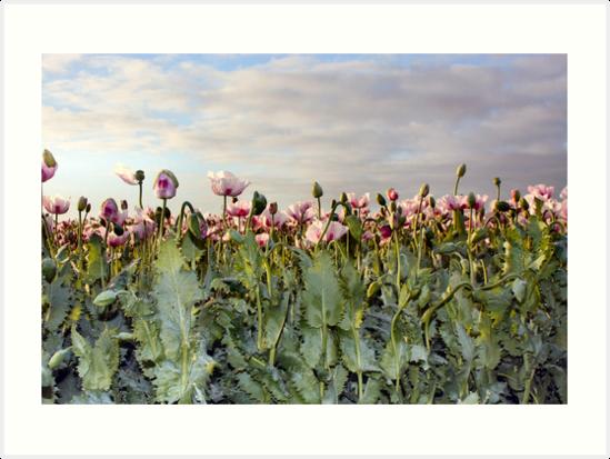 Poppy Trifids, Wynyard, Tasmania. by sharynpear