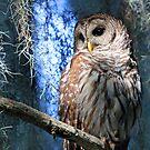 A Florida Barred Owl by Anthony Goldman