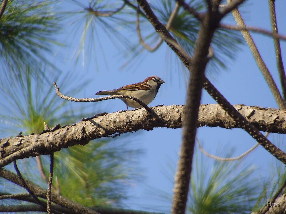 Bird in the Pines by Bret