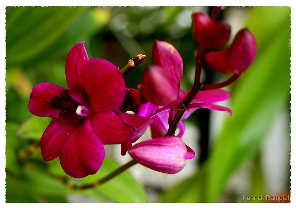 Orchid-8 by Kenrick Rampial