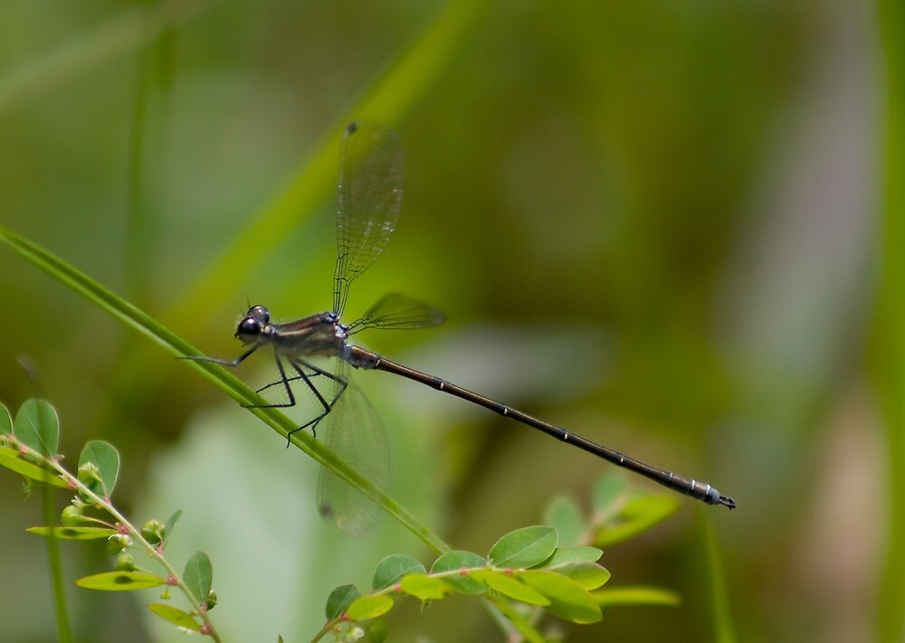 Common Flatwing by Yorrik
