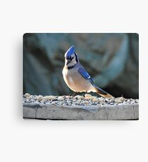 Sunrise Blue Jay Canvas Print