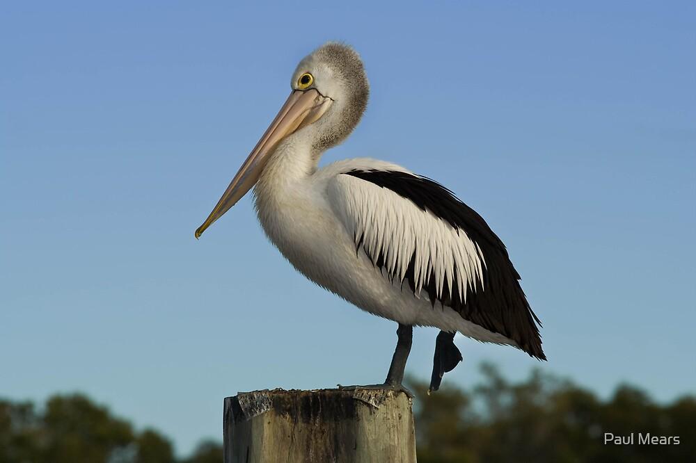 Pelican by Paul Mears