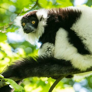 Black-and-white Ruffed Lemur by domcia