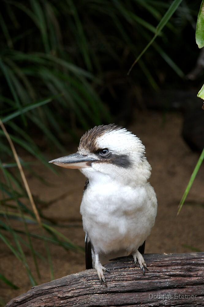 Laughing Kookaburra by Douglas Stetner