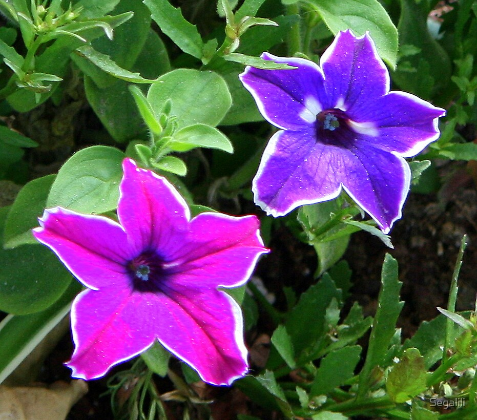 Two Petunia Stars by Segalili