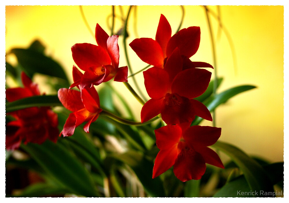 Orchid-2 by Kenrick Rampial