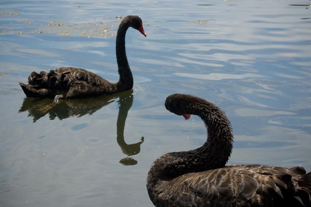 Black Swans by Yorrik