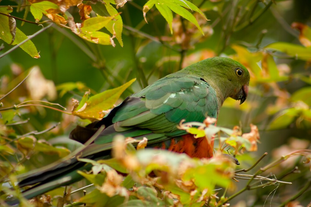 King Parrot by Yorrik