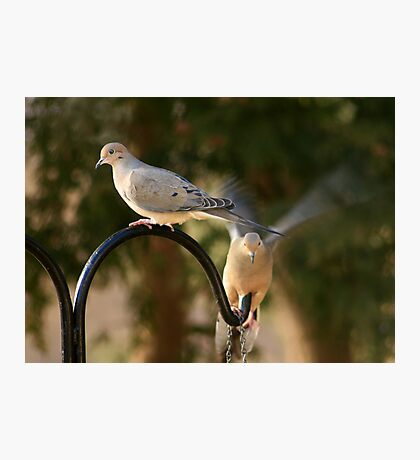Two Doves Photographic Print