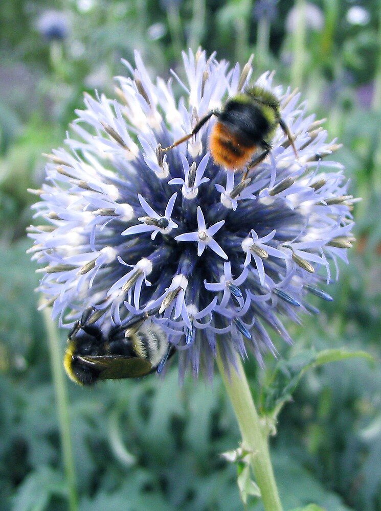 Bees on Alium by BizziLizzy