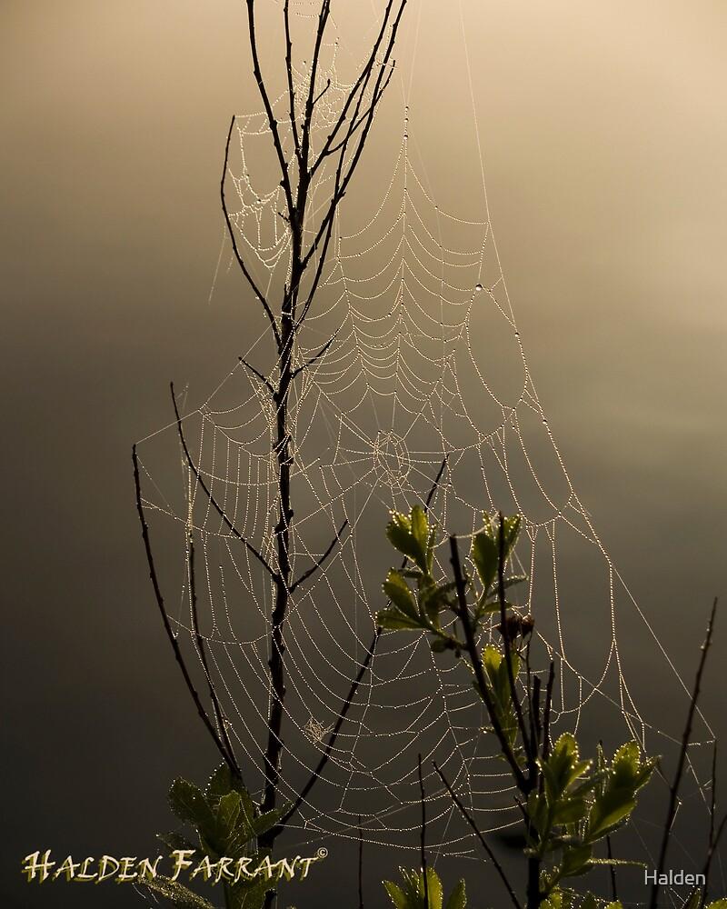 Spiderweb by Halden