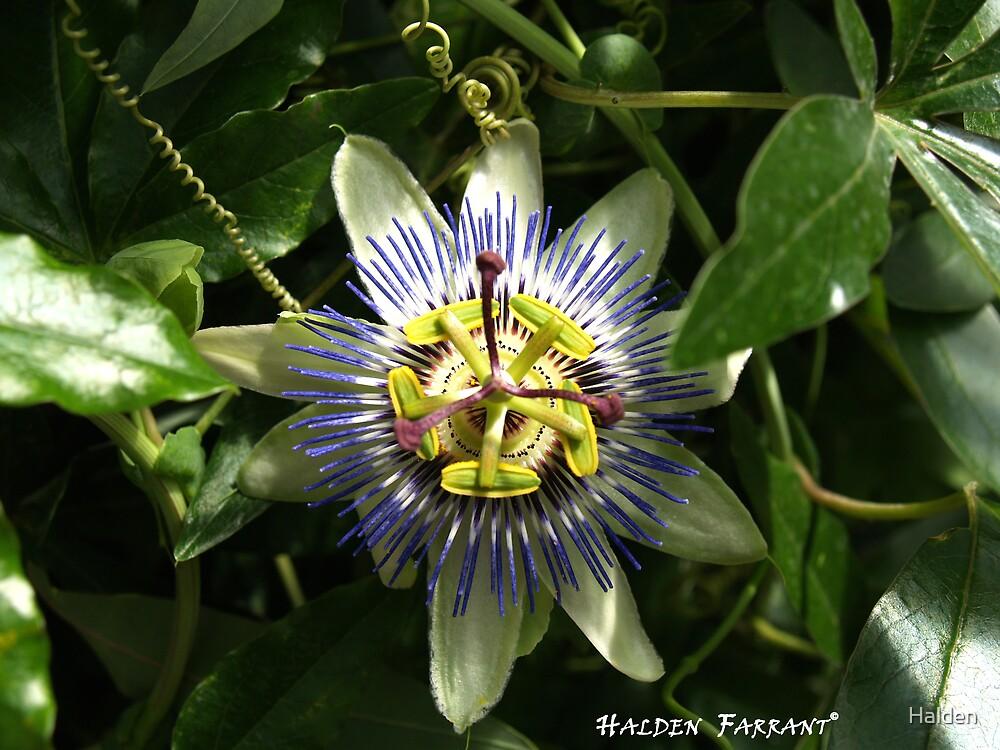 American Passion Flower by Halden