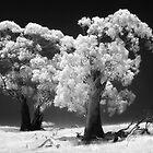 038 Trees in IR by Hans Kawitzki