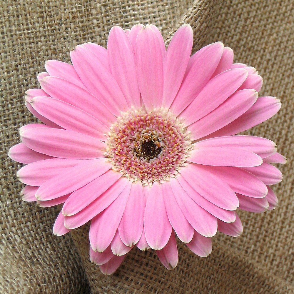 Pink Gerbera by BizziLizzy