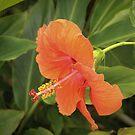 Orange Hibiscus by WeeZie