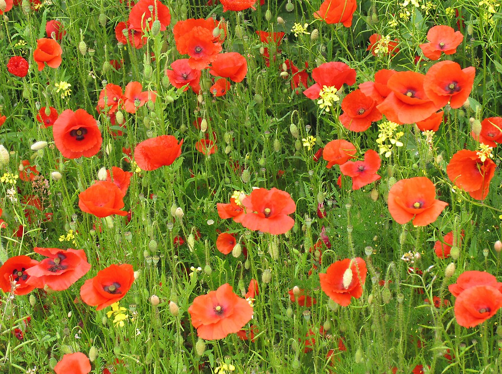 Poppy Fields by BizziLizzy