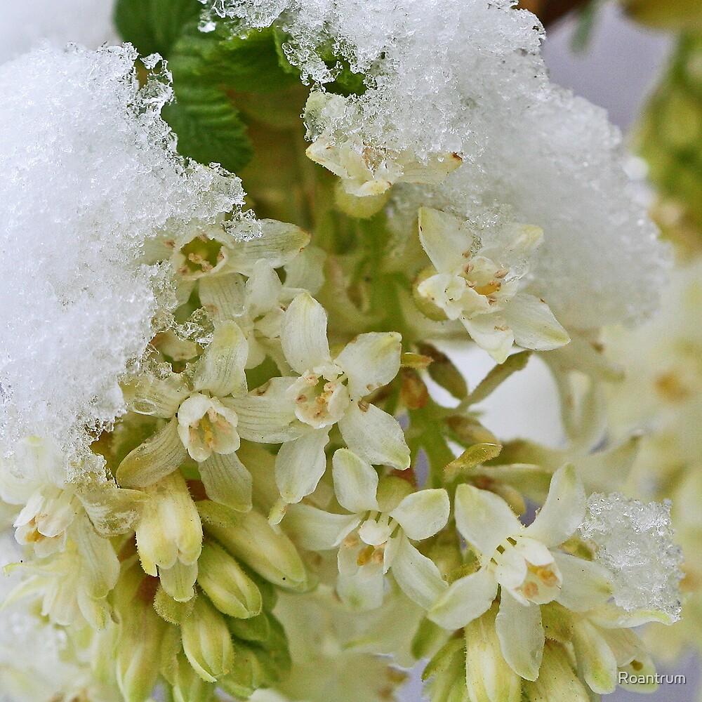 Currant Flowering in Snow by Roantrum