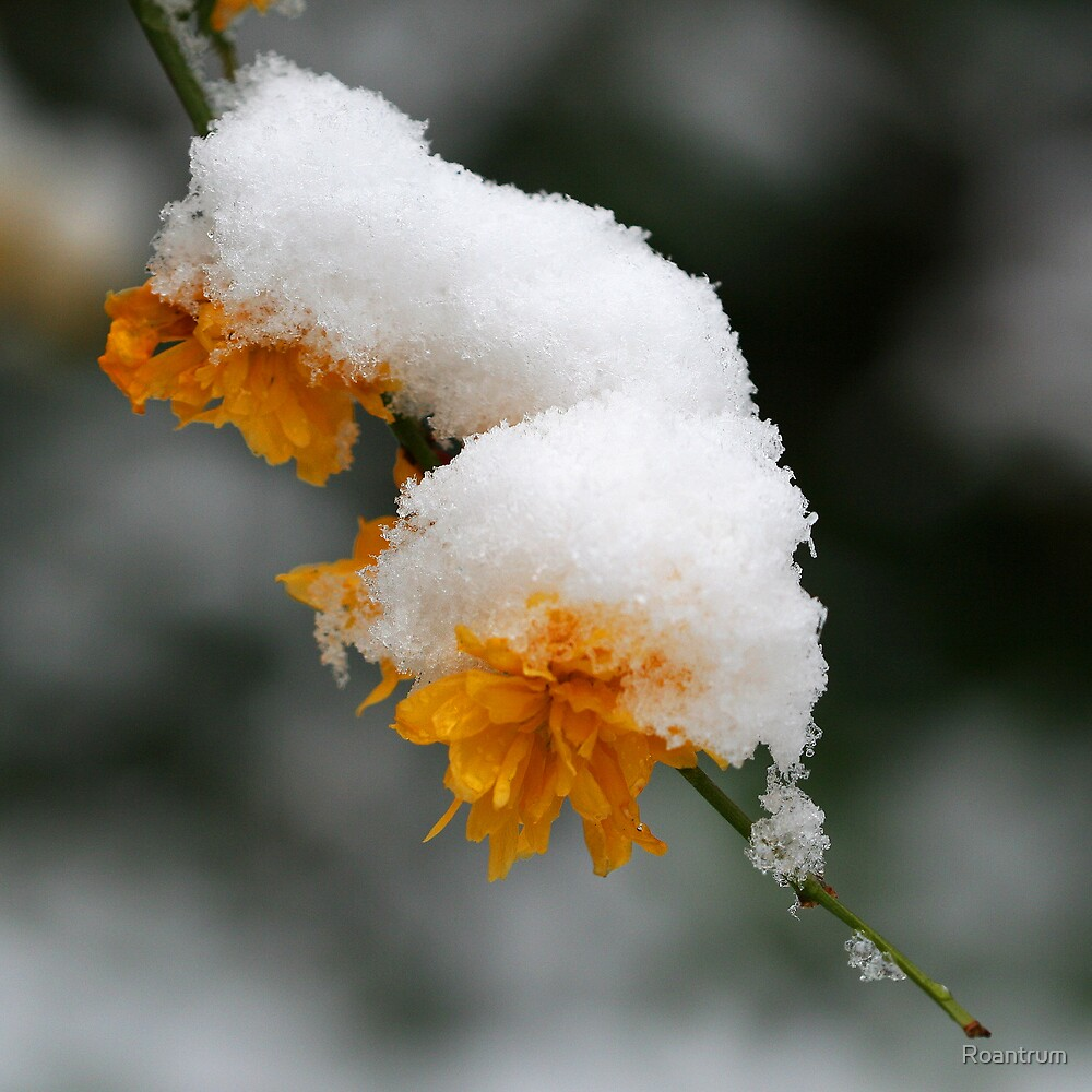 Kerria in the Snow by Roantrum