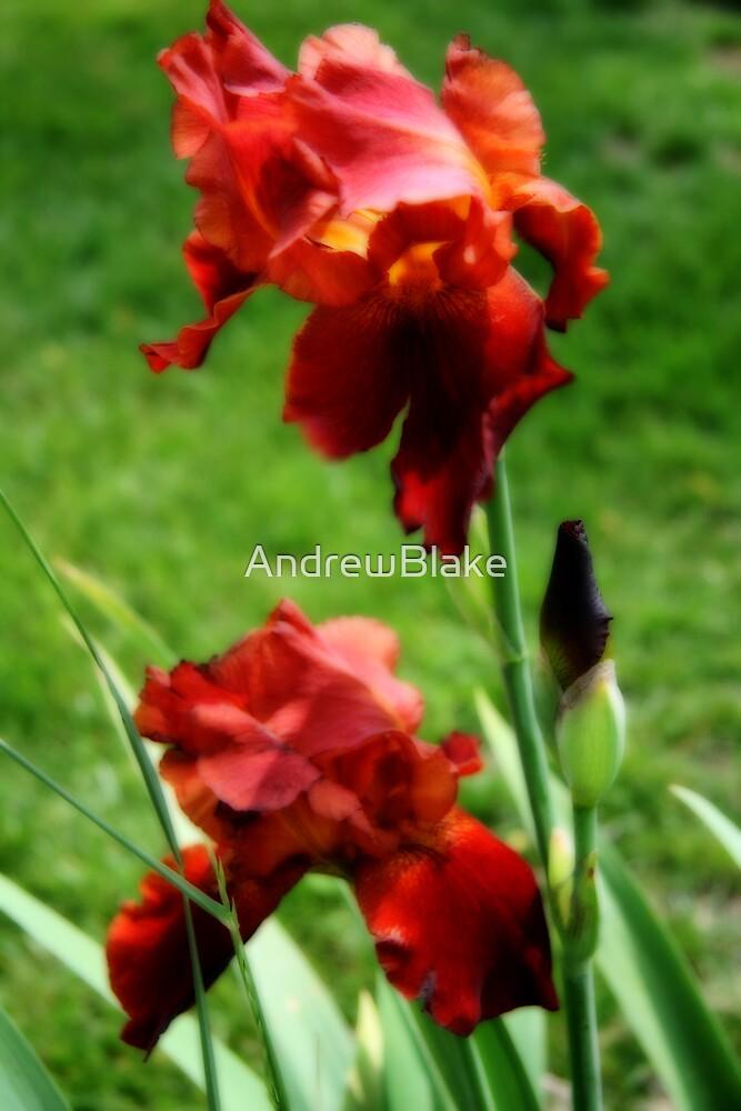 Red iris in bloom by AndrewBlake