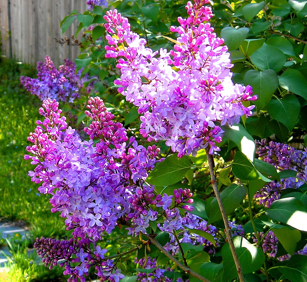 Lilacs by Maddys