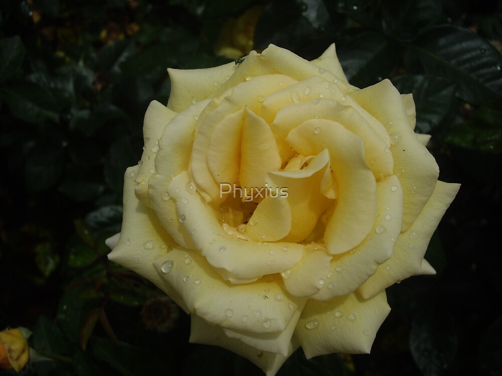 Yellow Rose by Phyxius
