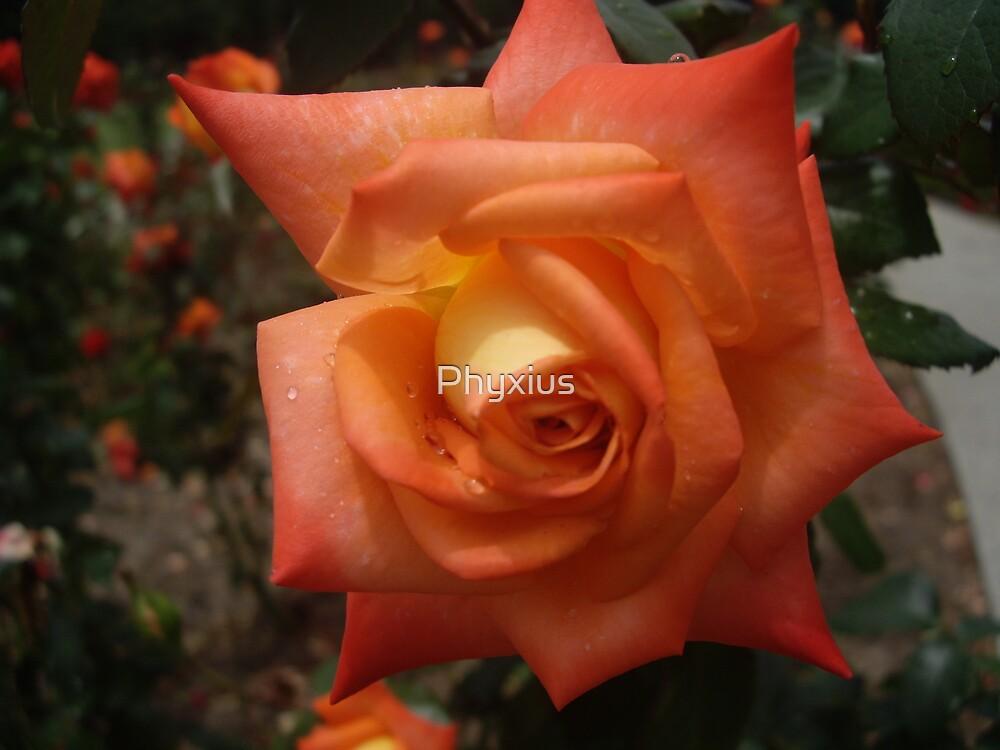 Orange Rose by Phyxius