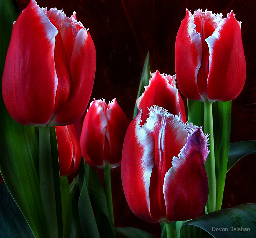 tulips by Devon Mallison