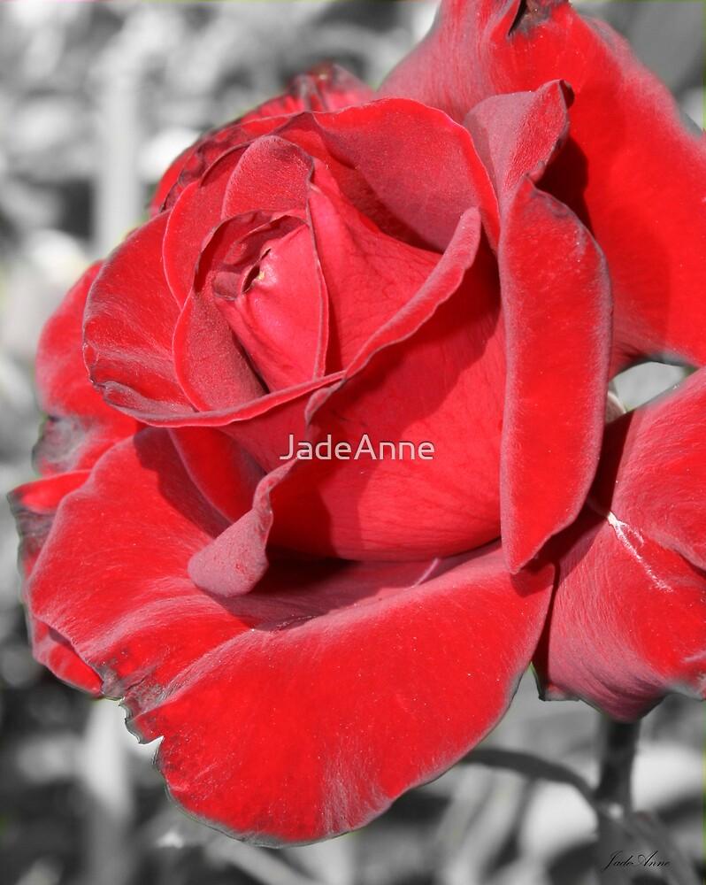 Velvet Rose - selective color by JadeAnne