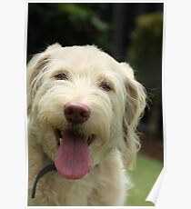 Our labradoodle Mickey Poster