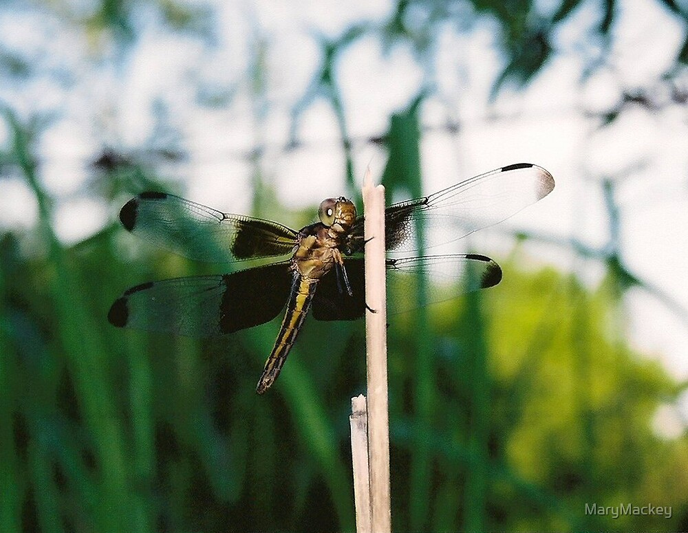 Dragonfly by MaryMackey