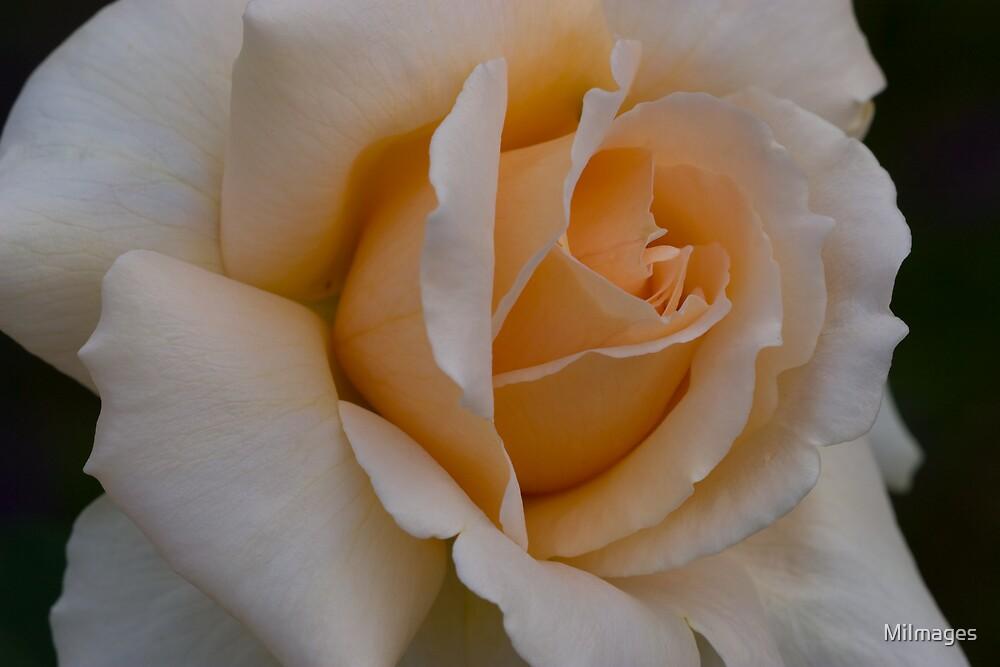 Rose_5179 by MiImages