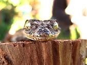 leaf tail gecko by judithtaylor