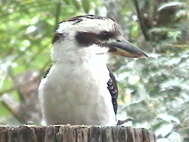kookaburra by judithtaylor