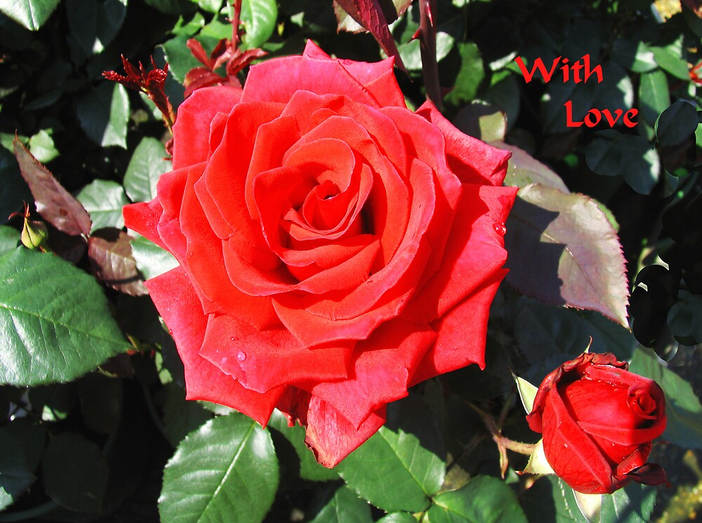 Roses are Red......... by BizziLizzy