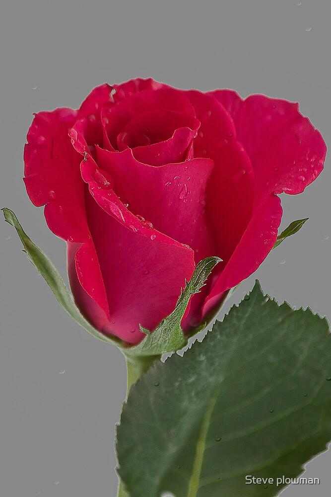 Raindrops on Rose by Steve plowman