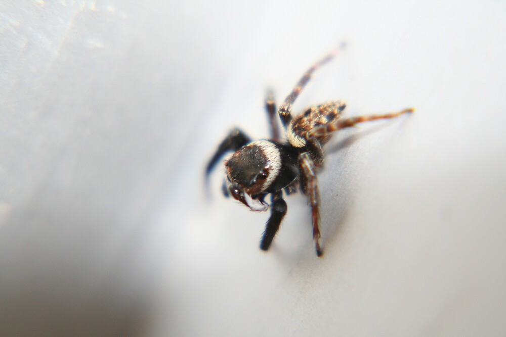 Jumping Spider by BenGartrell