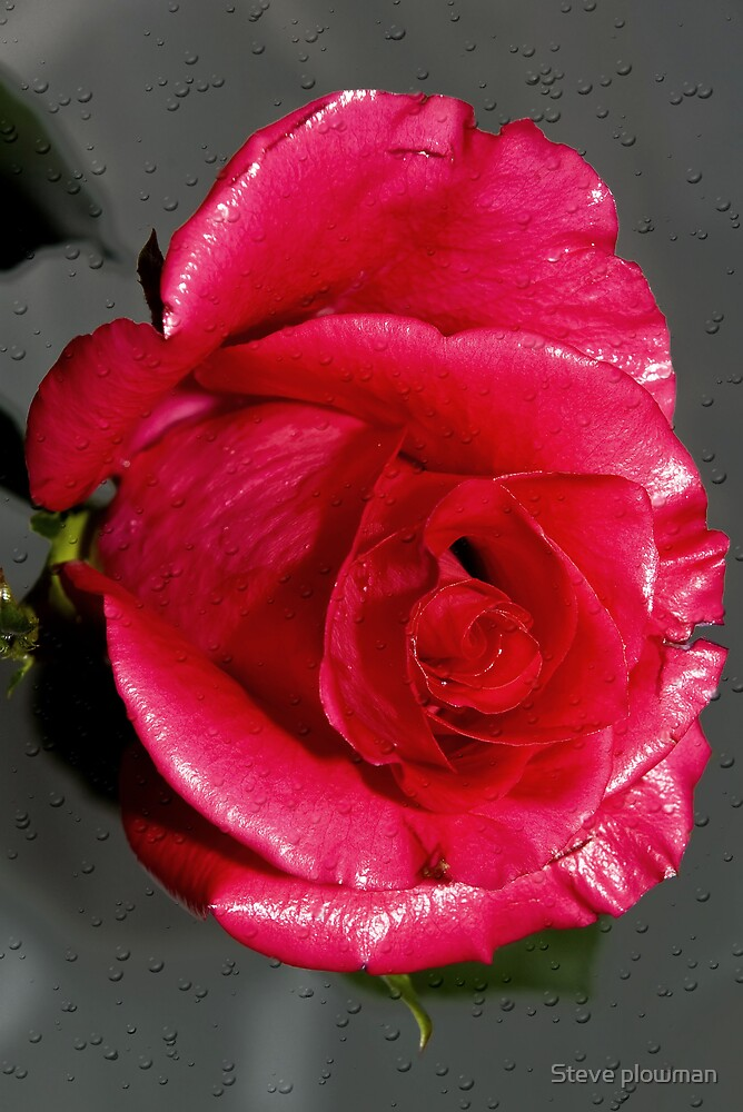 Red Rose by Steve plowman