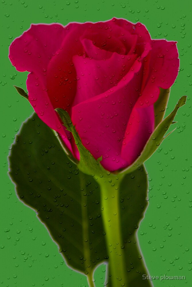 Rose with green background by Steve plowman